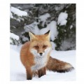 Snow Fox Micro Mink Blanket